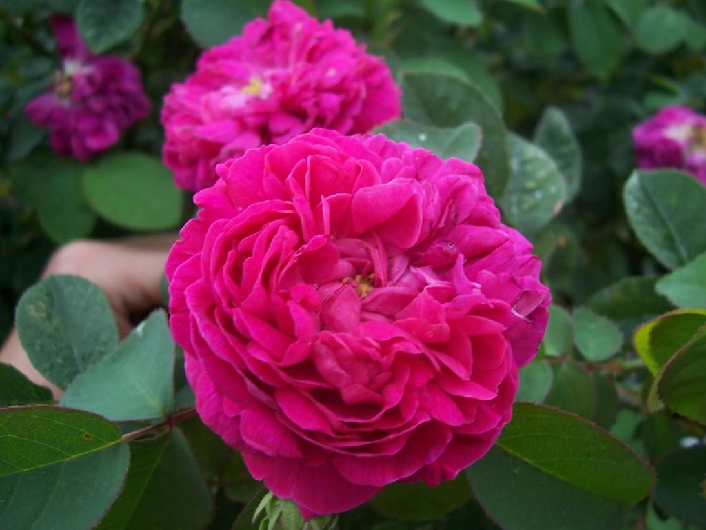 Rosa_Rose_de_Rescht