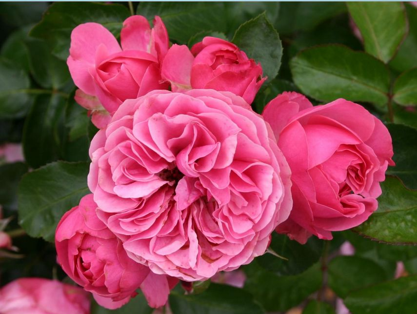 leonardo-da-vinci-roses