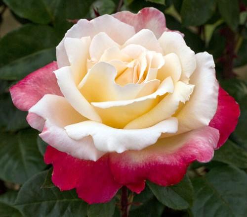 letitiacasta_trandafir
