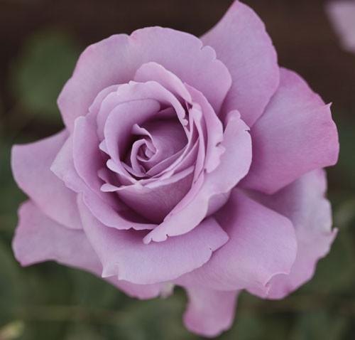 trandafir_mov_famousroses