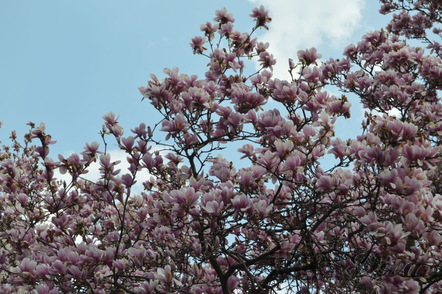 magnolia343