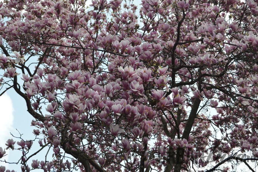 magnolia858