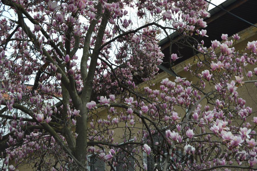 magnolia875