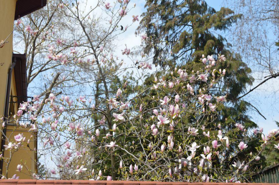 magnolie1