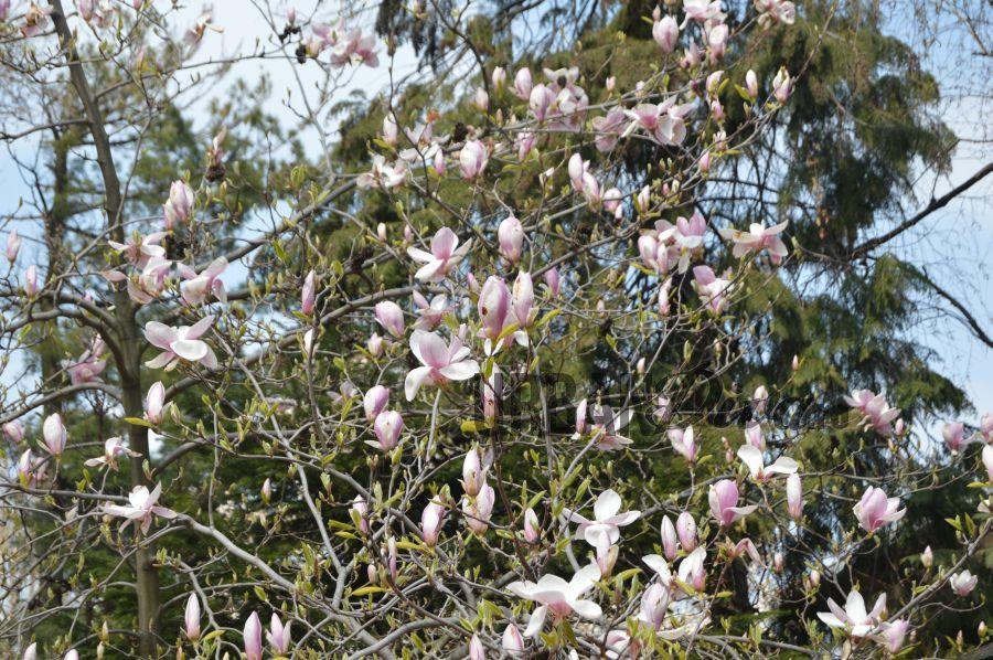 magnolie12