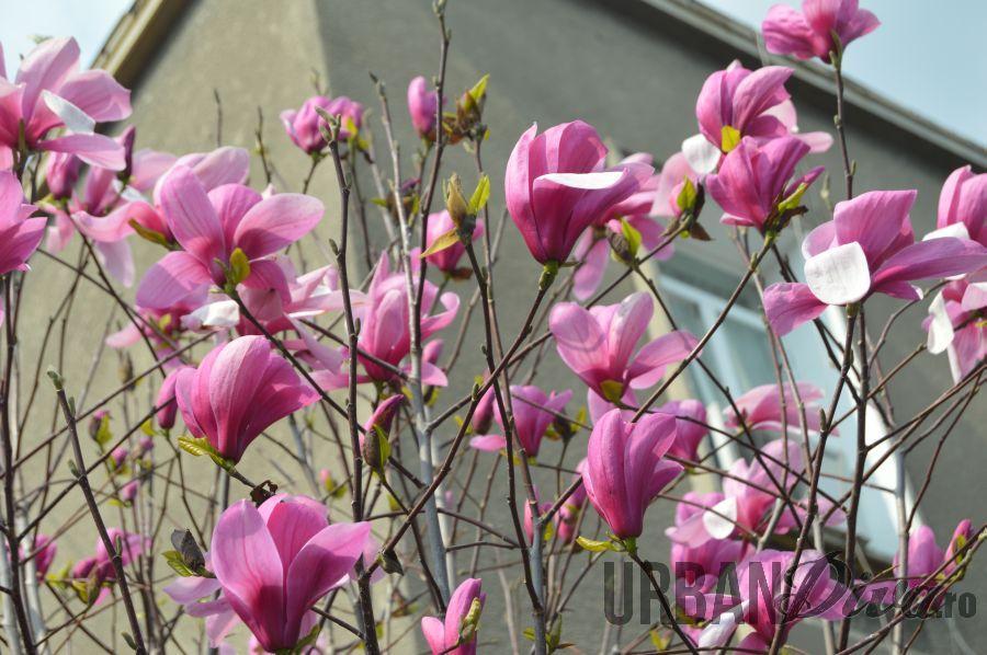 magnolie123