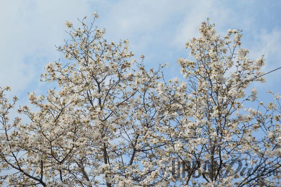 magnolie125