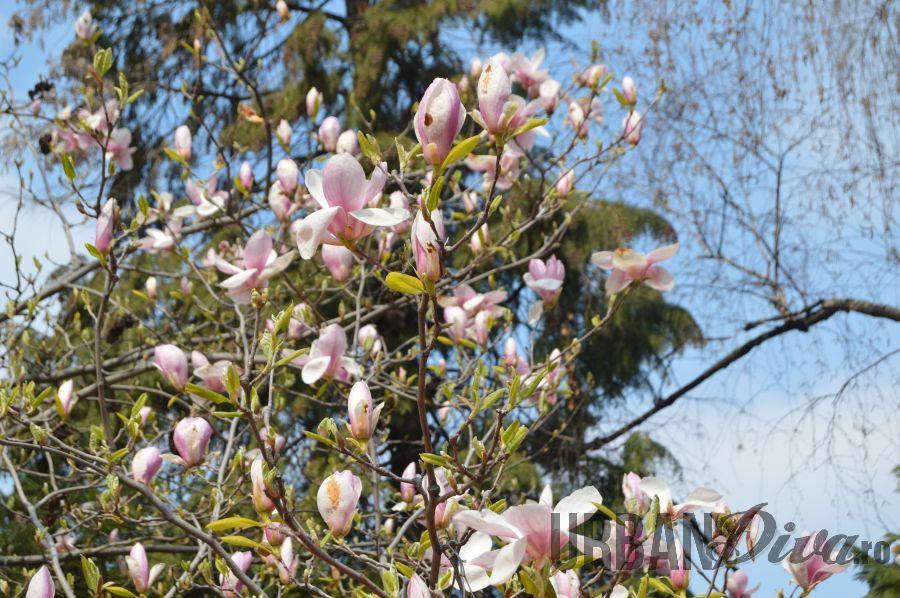 magnolie13