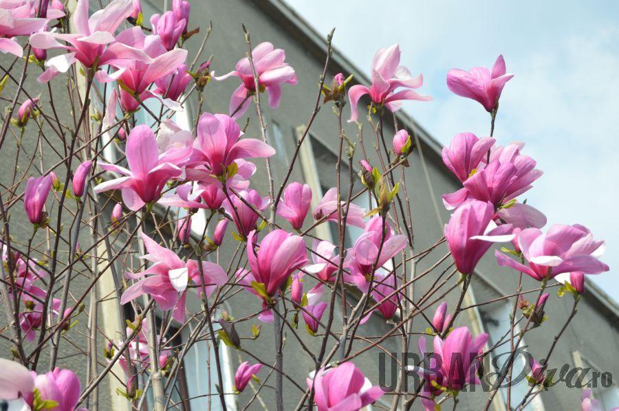 magnolie132