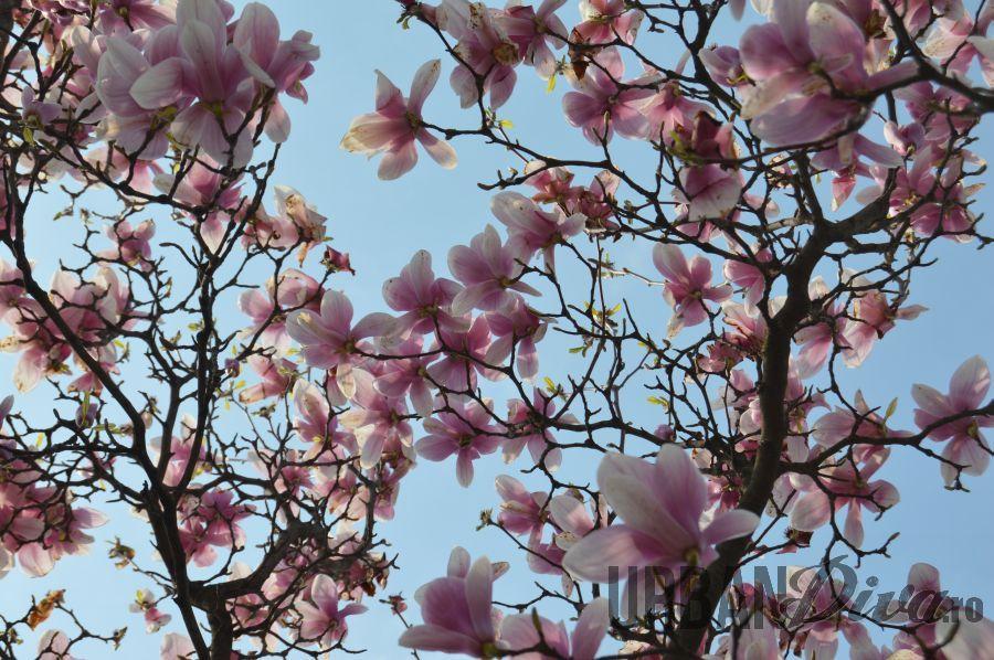 magnolie13n