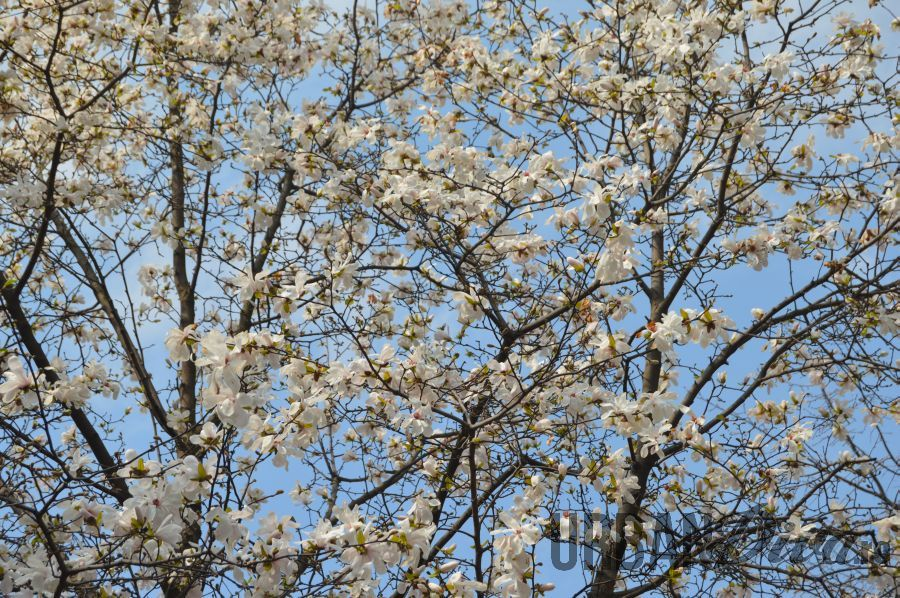 magnolie145