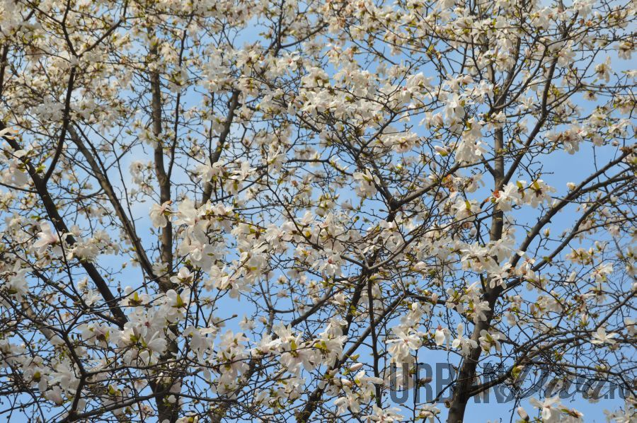 magnolie148