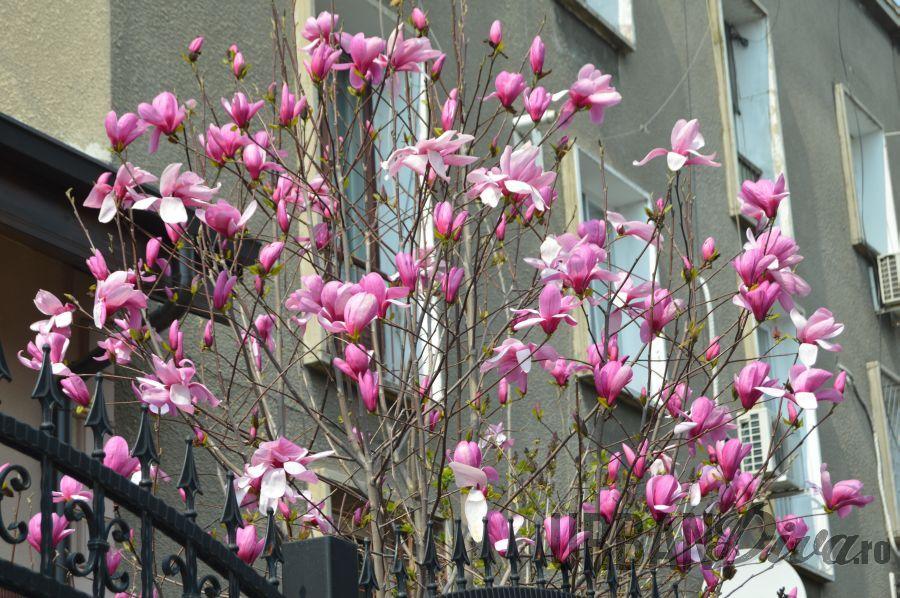 magnolie15