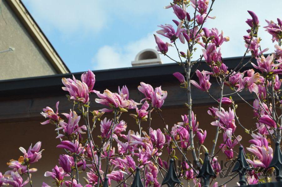 magnolie156
