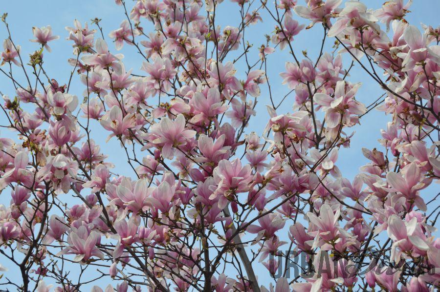 magnolie15jj