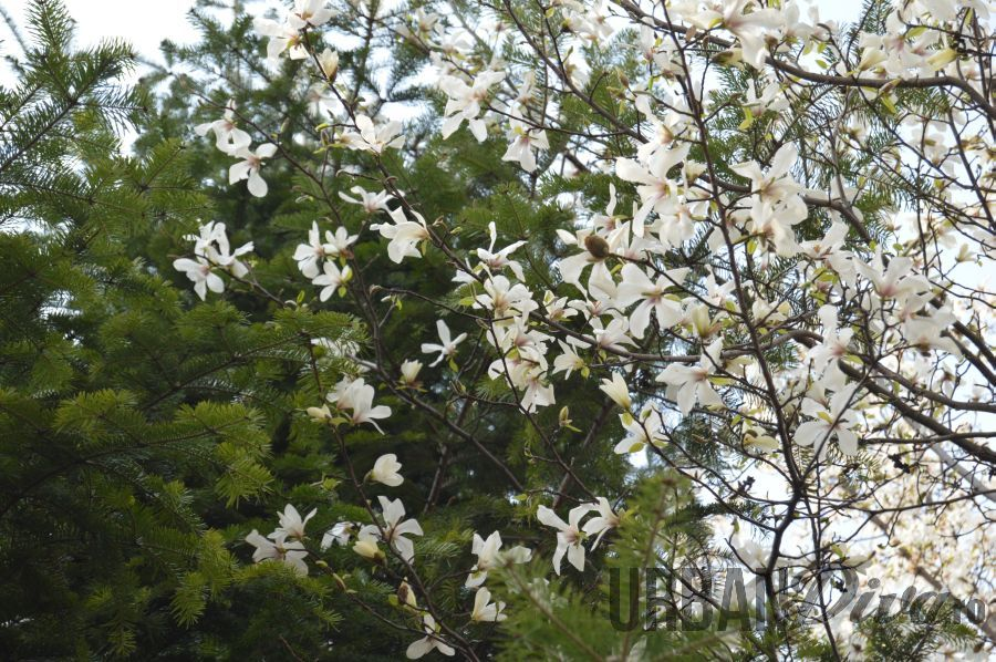 magnolie15jnj