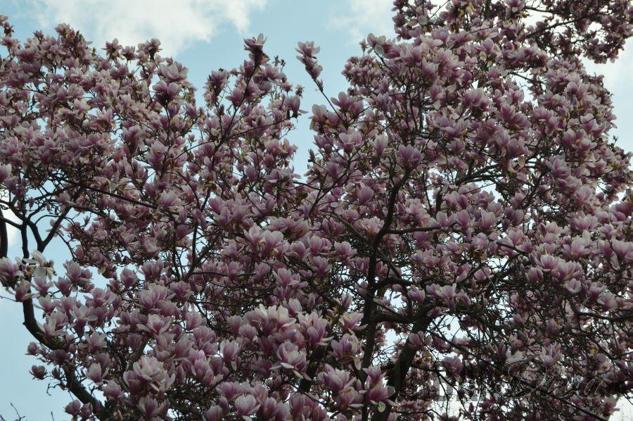 magnolie1677