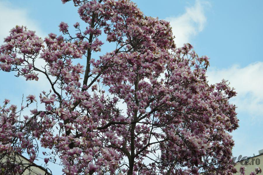 magnolie167878