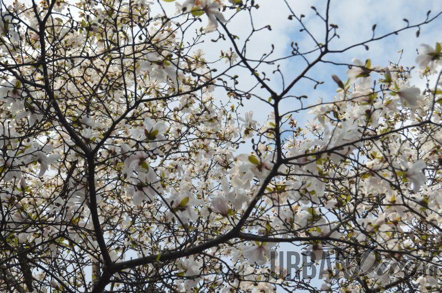 magnolie168