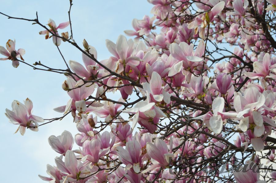 magnolie16jhj
