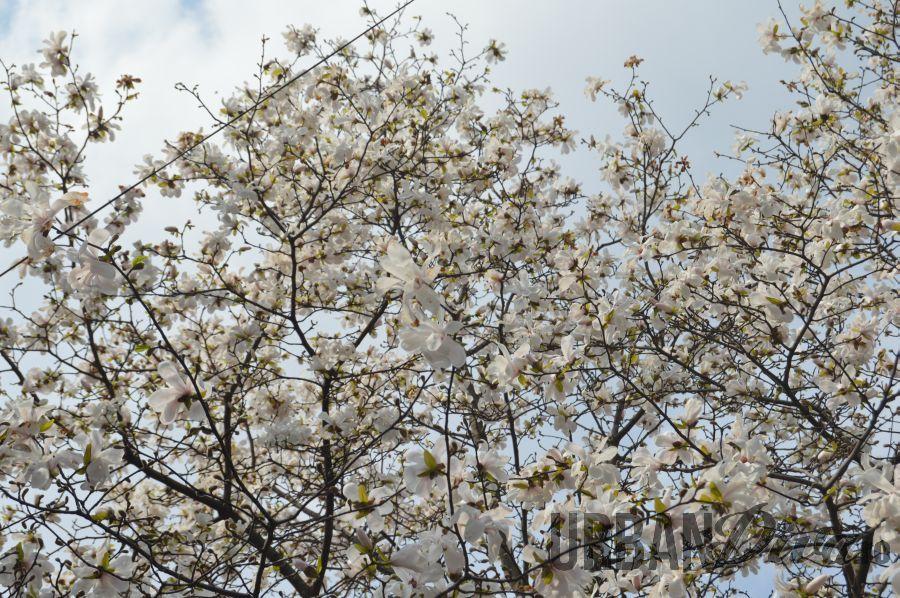 magnolie178