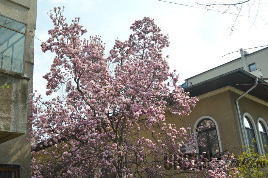 magnolie17832