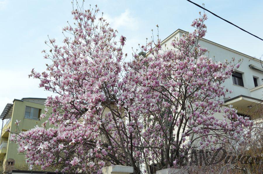 magnolie178gg