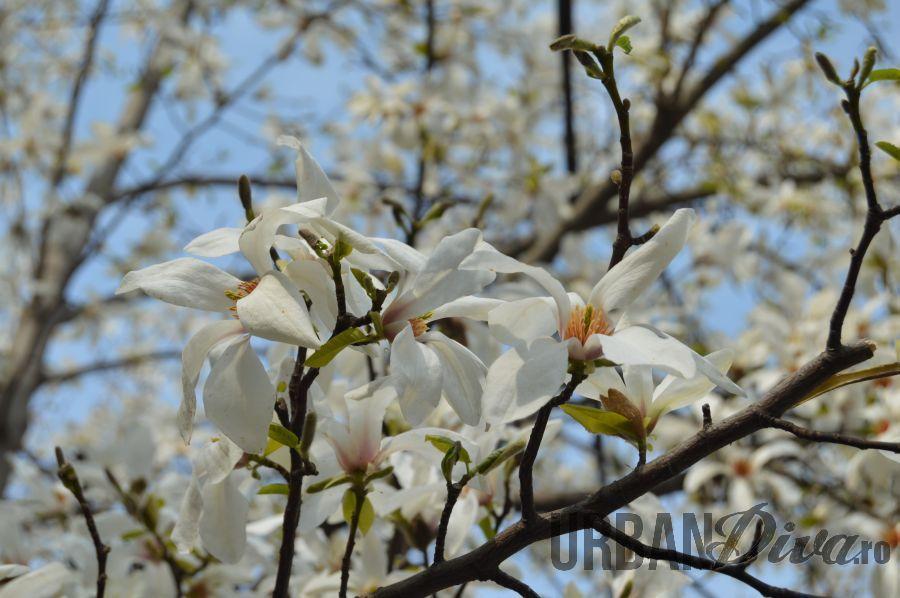 magnolie1b3