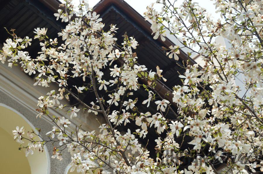 magnolie1rtt