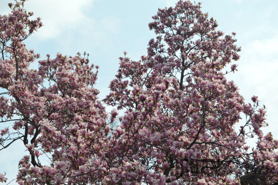 magnolie1tez