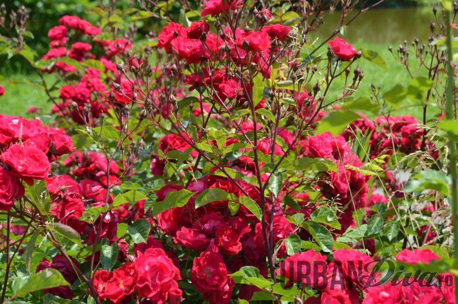roses_urban_divaro_1