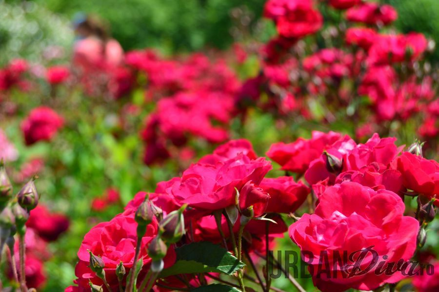 roses_urban_divaro_10
