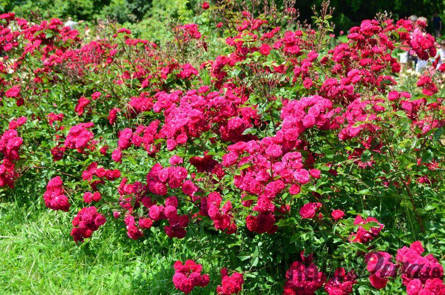 roses_urban_divaro_11