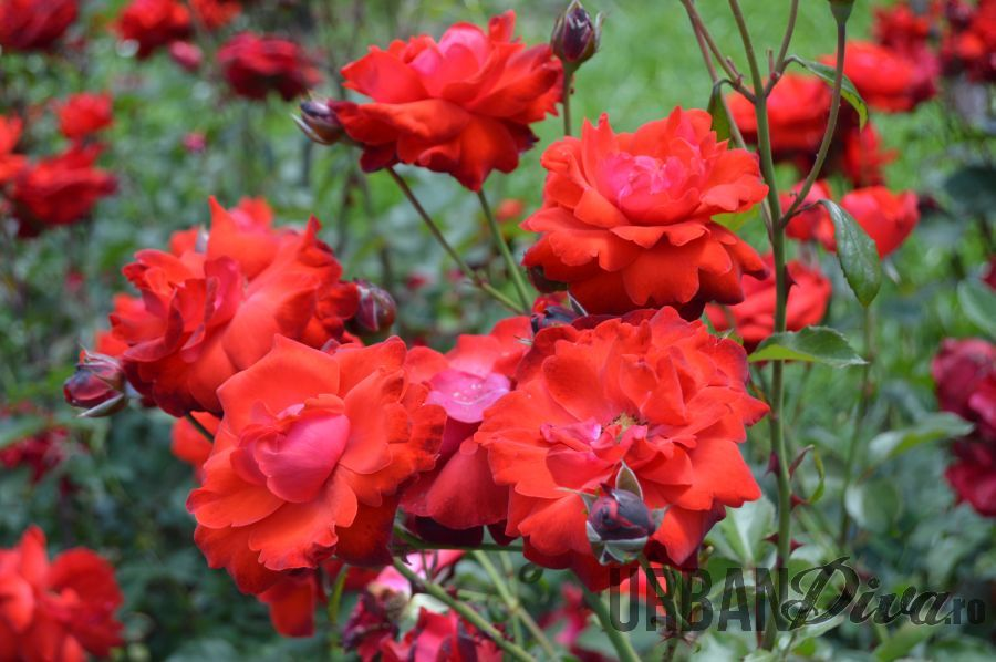roses_urban_divaro_12