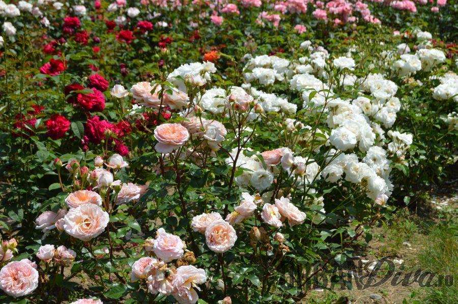 roses_urban_divaro_122
