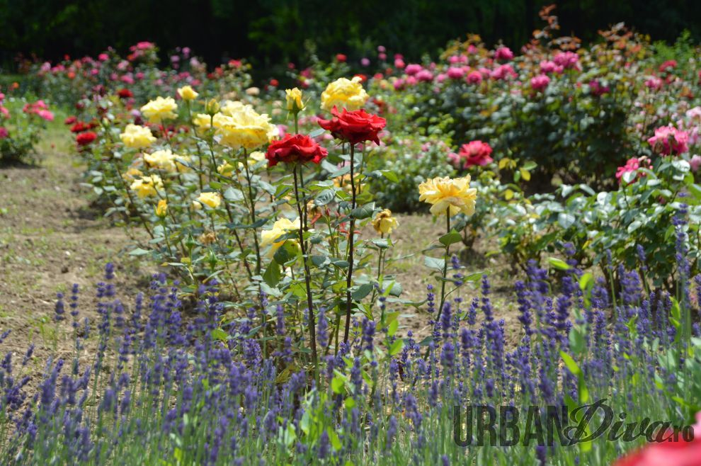 roses_urban_divaro_1343