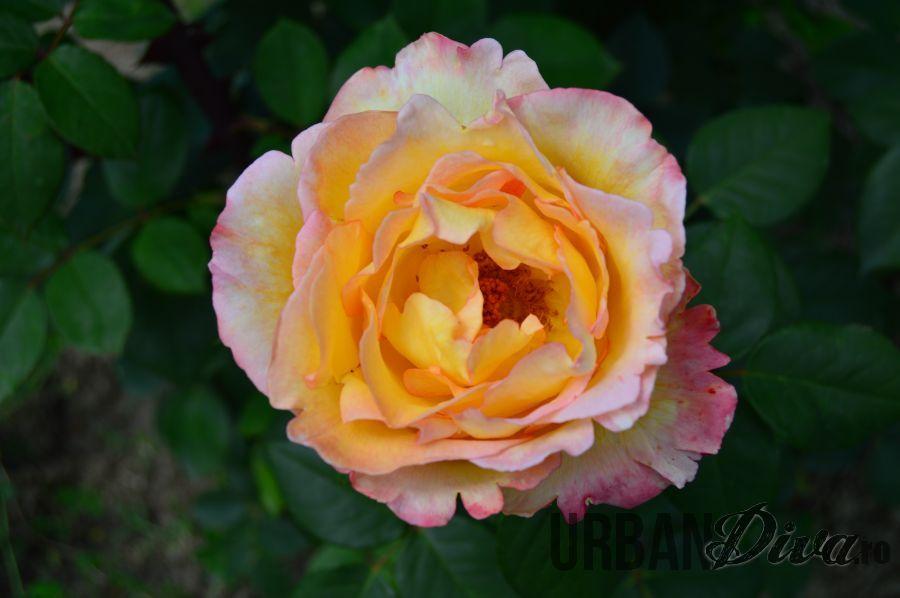 roses_urban_divaro_14