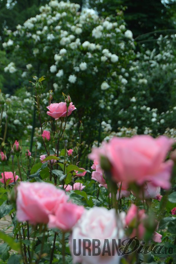 roses_urban_divaro_15
