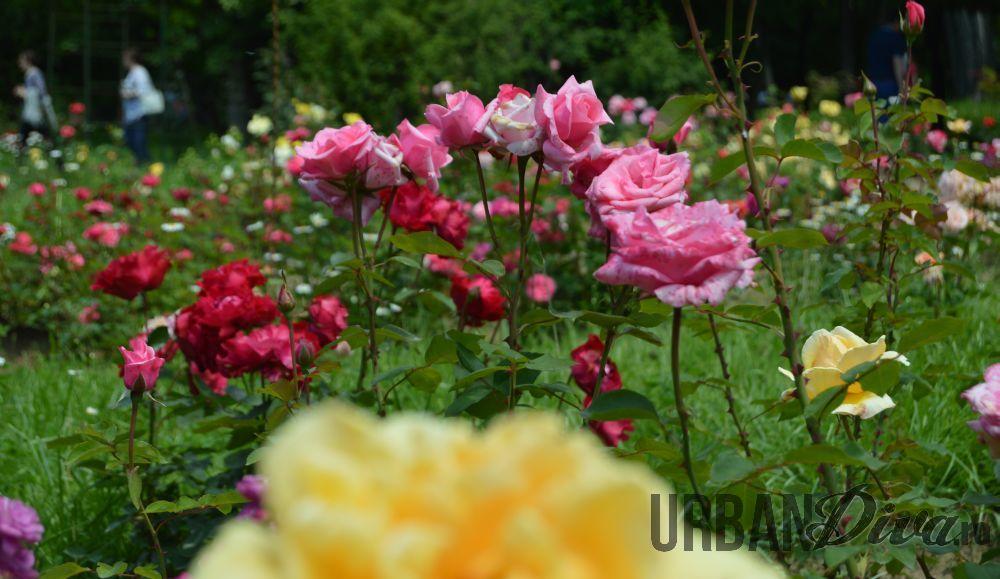 roses_urban_divaro_16