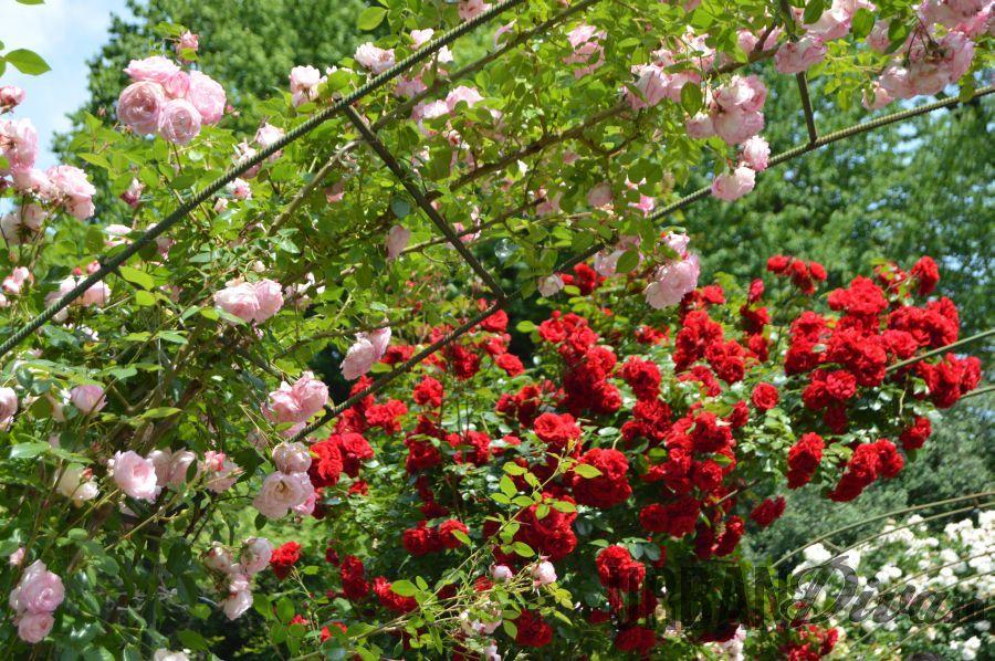 roses_urban_divaro_1657