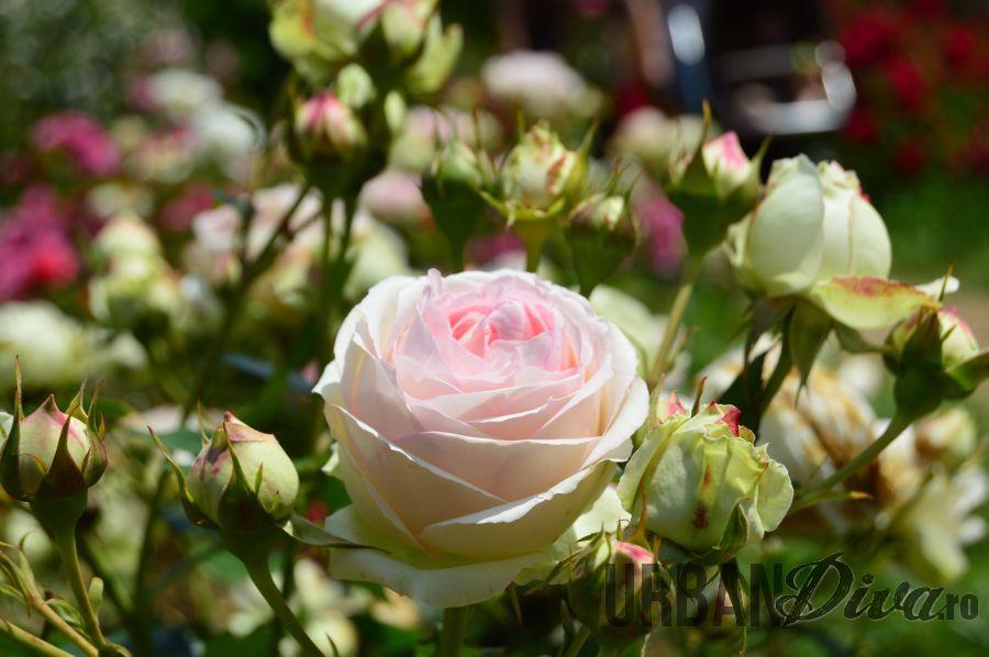 roses_urban_divaro_17