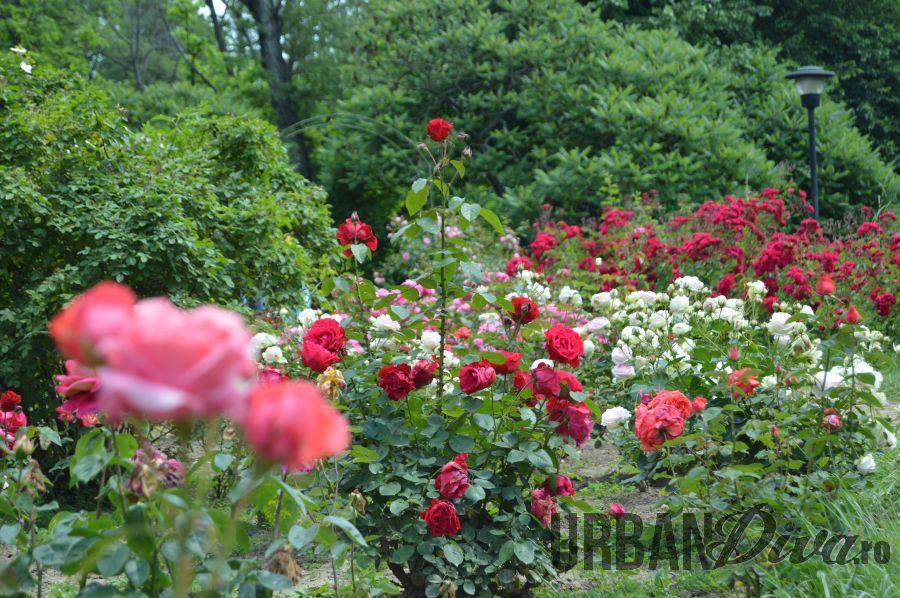 roses_urban_divaro_18