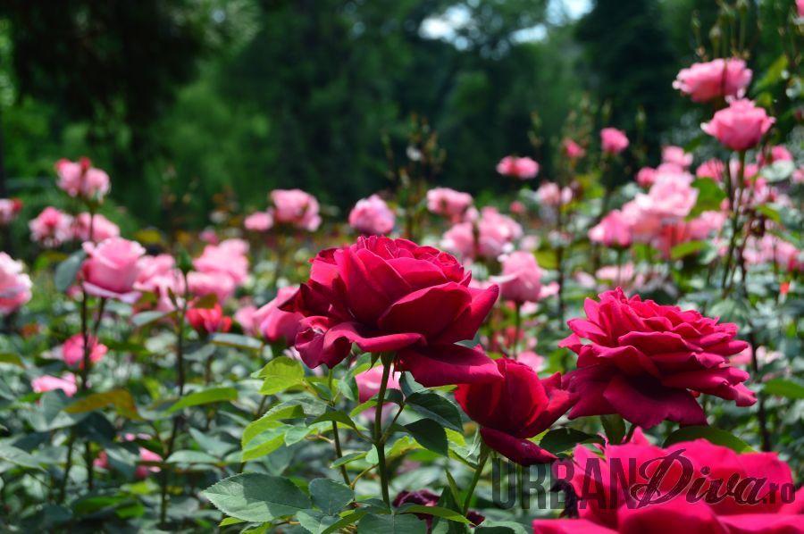 roses_urban_divaro_19