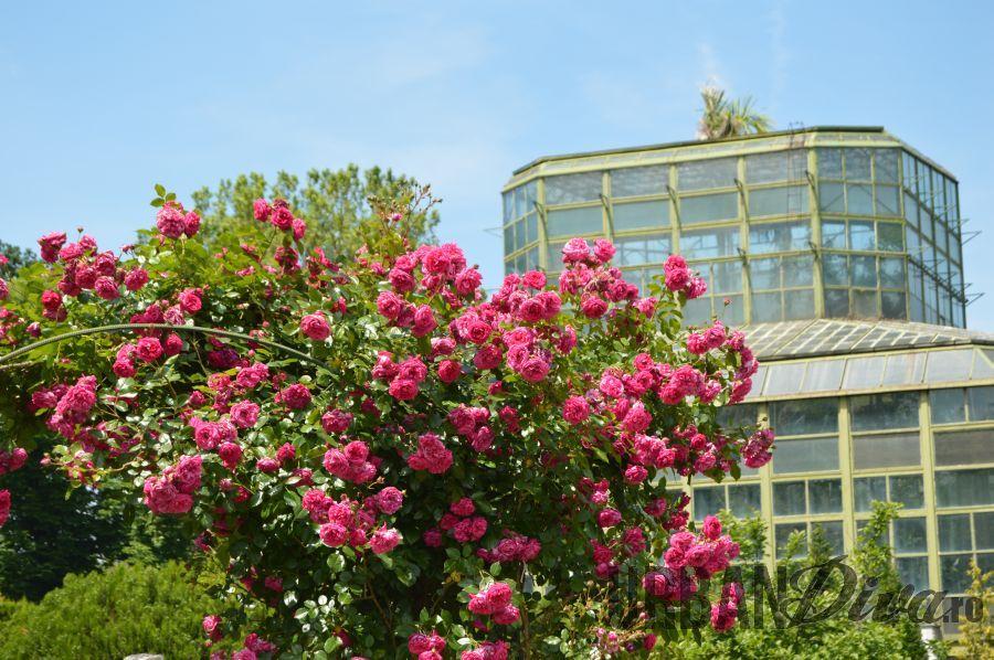 roses_urban_divaro_2