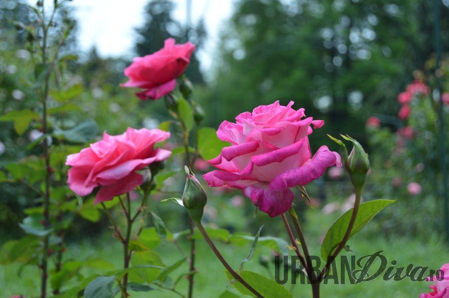 roses_urban_divaro_21