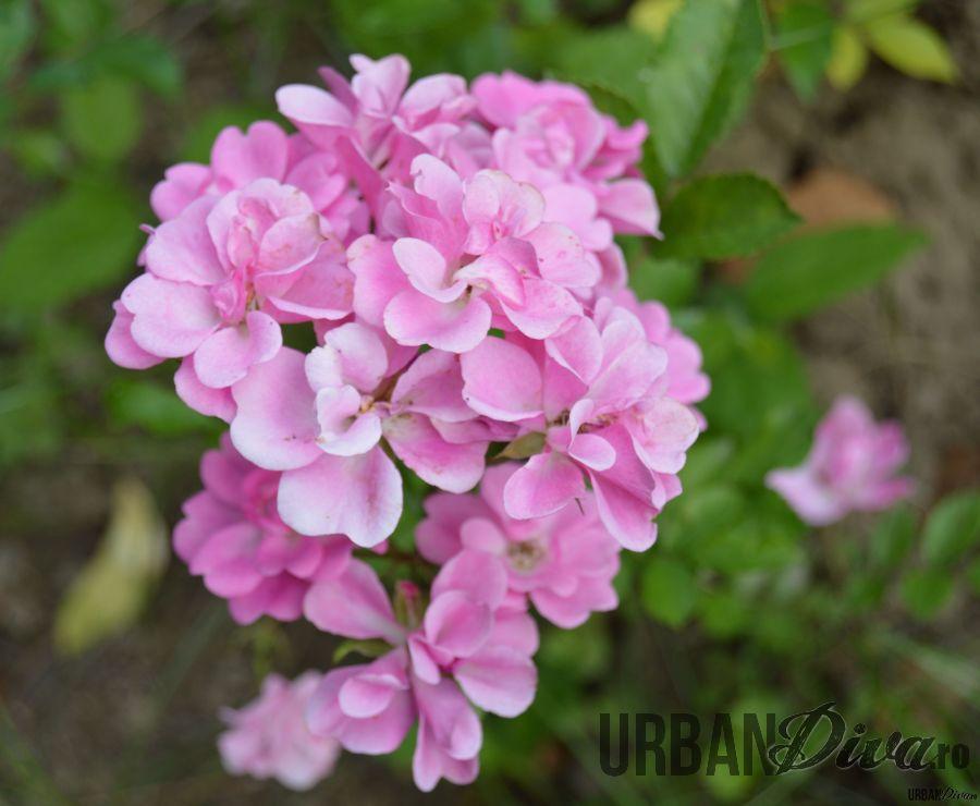 roses_urban_divaro_22