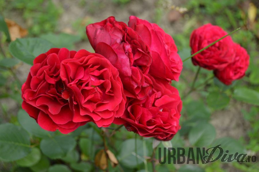 roses_urban_divaro_23