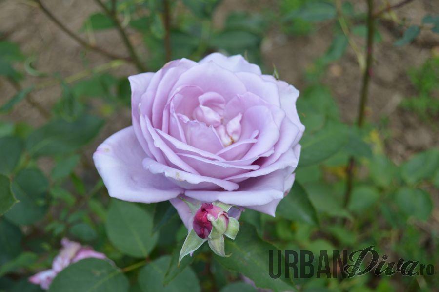 roses_urban_divaro_24