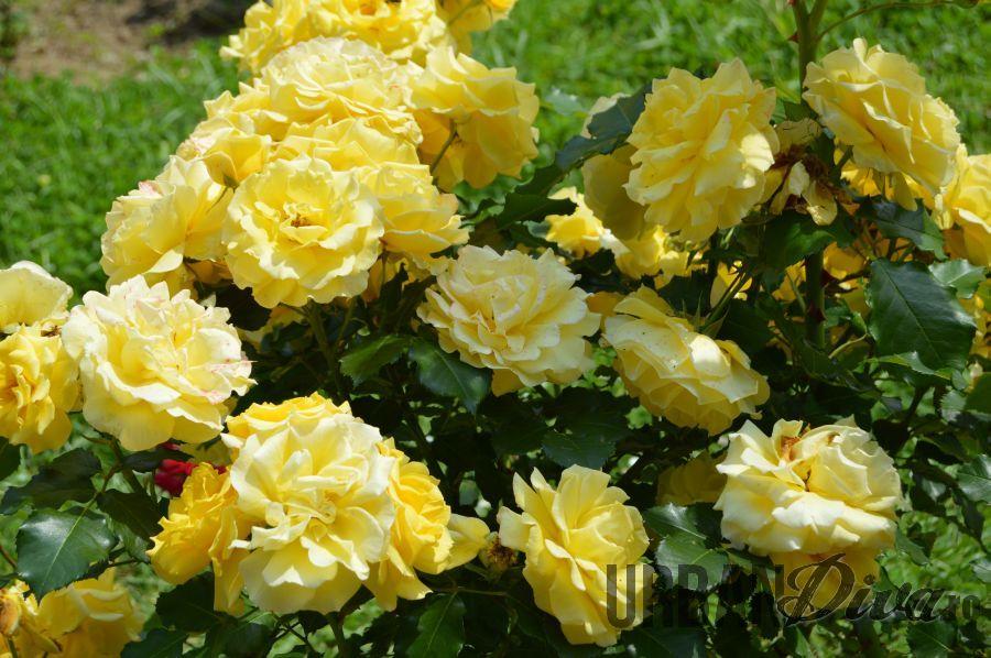 roses_urban_divaro_243
