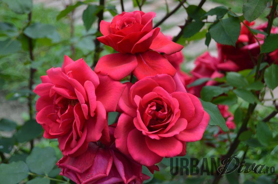 roses_urban_divaro_29
